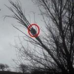 Sesi duyan köylüler ağaca bakınca şaşkına döndü