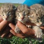 Diyarbakır'da çobanlar şaşkına döndü! 3 leopar yavrusu...
