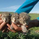 Diyarbakır'da leopar şaşkınlığı! Köylüler buldu...