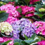 Ortanca çiçeğine nasıl bakılır? Renklendirme teknikleri nelerdir?