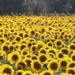 Ayçiçeği tohumunda gümrük vergisi sıfır oldu