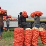 Tarlada soğanın fiyatı 1 lira