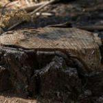 Tarihi meşe ağacını söken çifte rekor ceza! 586 bin dolar