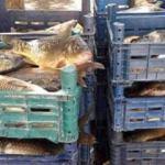 800 kilo kaçak balık ele geçirildi