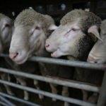 10 bin koyun alımı yapacak