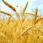 Kırşehir'de buğday hasadına erken başlandı