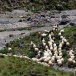 4 bin liraya çoban bulamıyorlar