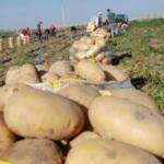 Kuraklığa dayanıklı patates geliştirildi