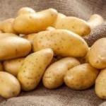 İki yeni çeşit yerli patates üretildi