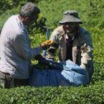 ÇAYKUR 21 günde 127 bin ton yaş çay aldı