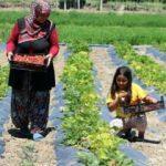 Çilek üreten eller projesi kadınlarla hayat buldu