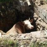 Foseptik çukuruna düşen ineği AFAD ekipleri kurtardı