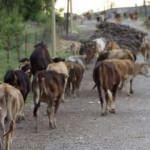 Çobanların yayla yolculukları başladı