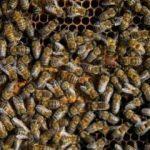 Tunceli'de 'arı' dehşeti! Ölü ve yaralılar var
