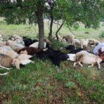 Eskişehir'de yıldırım düştü; 55 koyun telef oldu