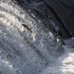 Tatlı su kefallerinin zorlu göçü başladı