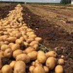 """""""Türkiye, patates üretiminde dünyada ilk 10'da"""""""