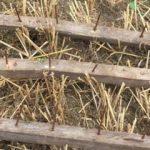 Hasat öncesi buğday tarlasında akılalmaz tuzak!