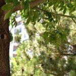 Bu ağacı görenler şaşıp kalıyor