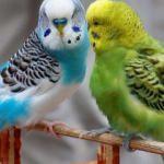 Muhabbet kuşu bakımı nasıl yapılır?