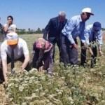 Türkiye'nin kekik deposunda hasat başladı