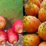 Dikenli incirin faydaları & yararları nelerdir? Dikenli incirin zararları