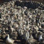 Tokat'ta çiftçilere kaz dağıtıldı
