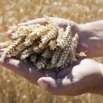 """Yerli tohum """"Hüseyinbey"""" çiftçiyi kalkındıracak"""