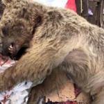 Çöplükte yiyecek arayan ayı öldürüldü!