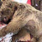 Çöplükte yiyecek arayan ayıyı kim öldürdü?