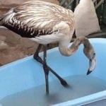 Kuşadası'nda flamingo seferberliği