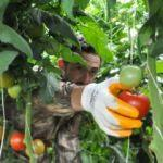 Gazeteciliği bıraktı, sera kurup domates yetiştirmeye başladı