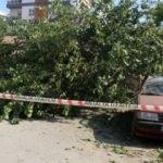 Dut ağacı, otomobilin üzerine devrildi