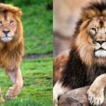 Rüyada aslan görmek hayırlı mıdır: Rüyada aslan tam olarak neye işaret?