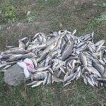 Akyazı'da yüzlerce balık telef oldu