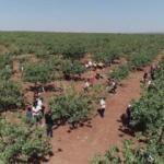 Barak Ovası'nda fıstık hasadı yapıldı