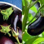 Patlıcan sapının bilinmeyen faydaları: Patlıcan sapı suyu tam şifa deposu!
