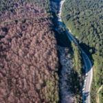 Tırtıllar ormanı istila etti, ağaçlarda yaprak bırakmadı