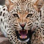 Hindistan'da leopar saldırıları: 2 çocuk hayatını kaybetti!