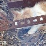 Sivas'ta görüntülendi! Bu kediler diğer kedilerden çok farklı