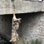 Köprüde ayağından asılı kurt ölüsü!