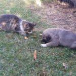 Kangal ile kedinin dostluğu!