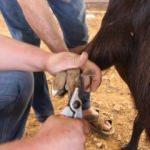 Türkiye'de az görülüyor! Günde 6 kilo süt veriyor