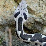 O ilimizde görüldü! Yeni bir yılan türü...
