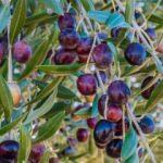 Zeytinin faydaları nelerdir? Zeytin çekirdeği yutmak ne işe yarar? Zeytin yaprağı nasıl tüketilir?