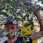 Erik ağacı, kasım ayında çiçek açtı