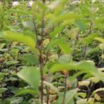 Van'ın elma ve armut türleri koruma altında