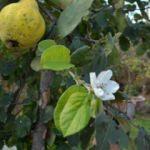 Aynı dalda hem meyve hem çiçek