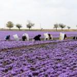 İran'da 'kızıl altın' hasadı başladı