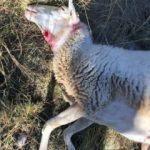 Kurtların saldırdığı 20 koyun telef oldu